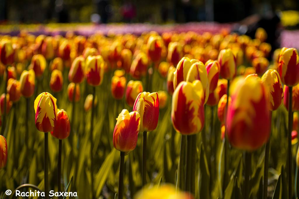 Tulips in Almaty City
